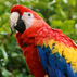 Harry scarlet macaw20130205 22903 1cs5f77 0