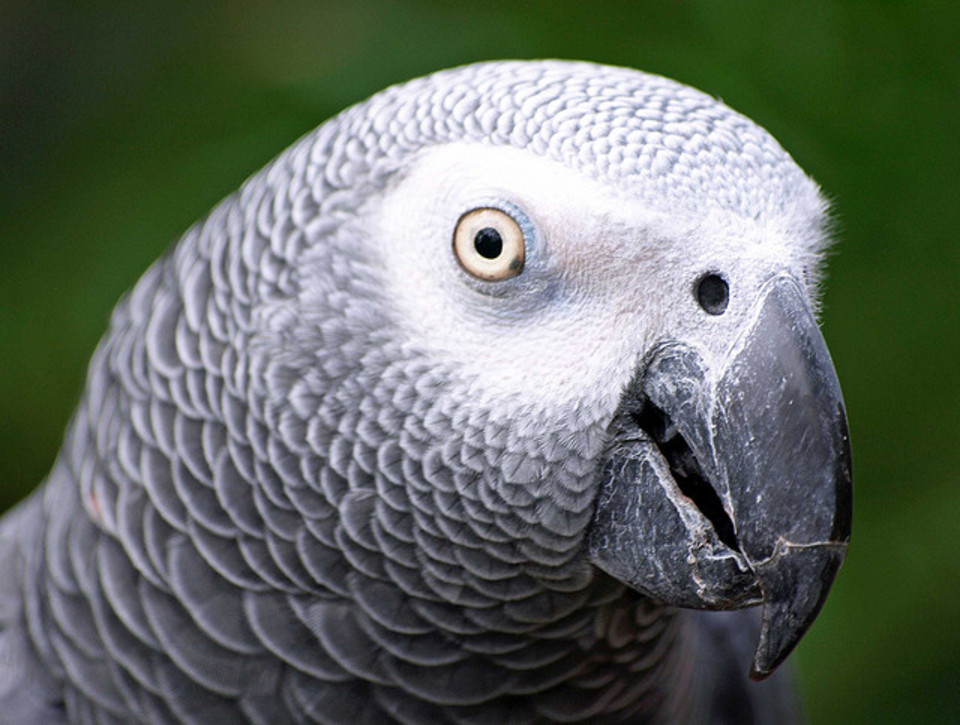 African Grey Parrot For Sale Nyc