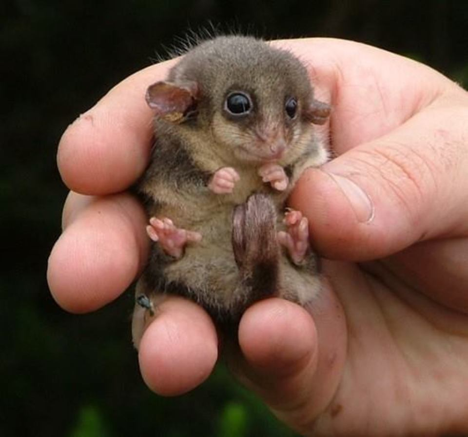 South American Pygmy Possum