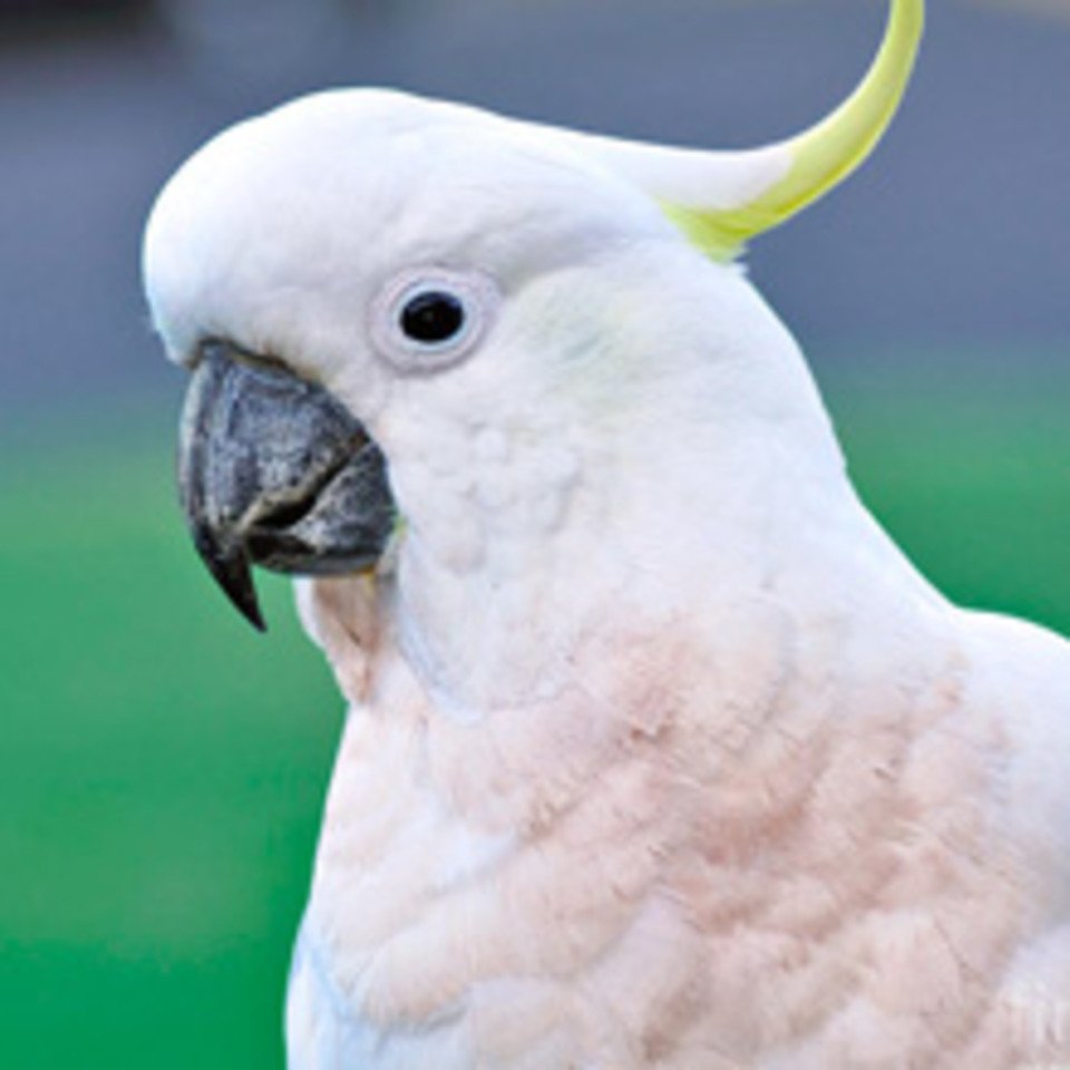 Cockatoo sm20130828 28278 1p7lsps 0
