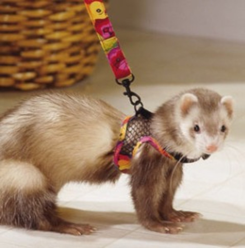 Pet Ferret Long Island