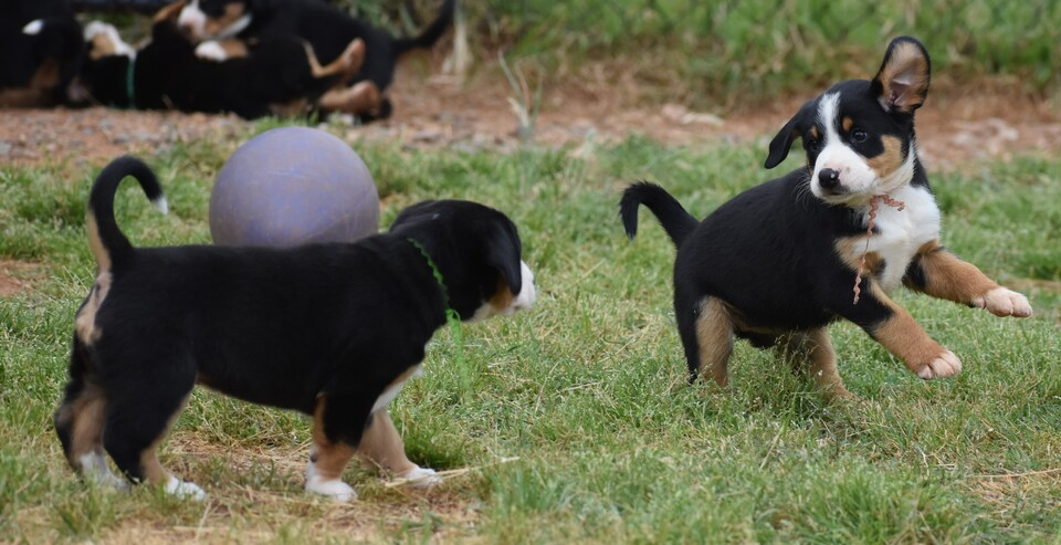 Entlebucher mountain dog puppies lime and light pink