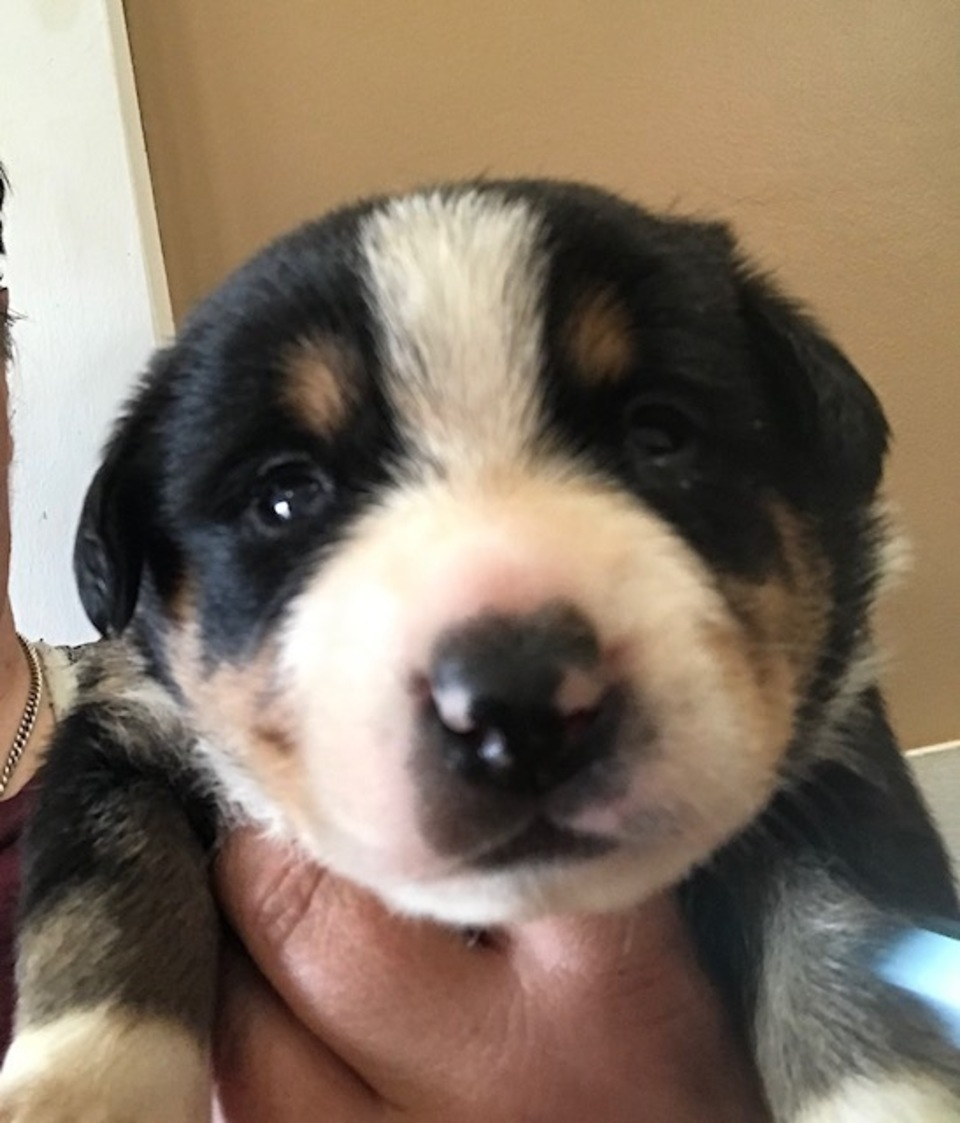 Entlebucher mountain dog female puppy yuzu pink