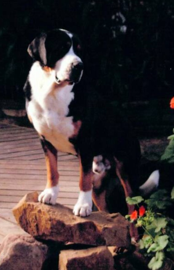 Corner Exhibition Stands Dog : Greater swiss mountain dog breeders and dogs for slae in oklahoma
