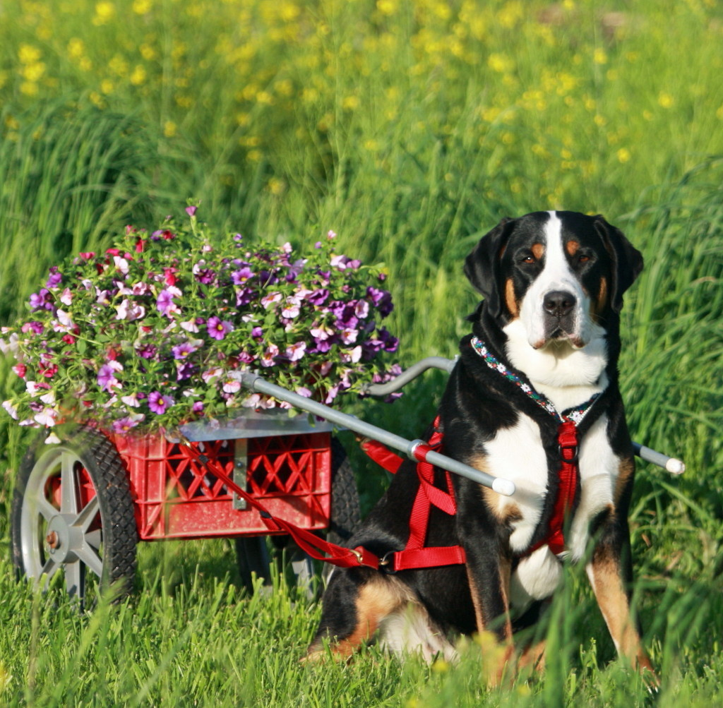 Greater Swiss Mountain Dog Breeders And Dogs For Slae In