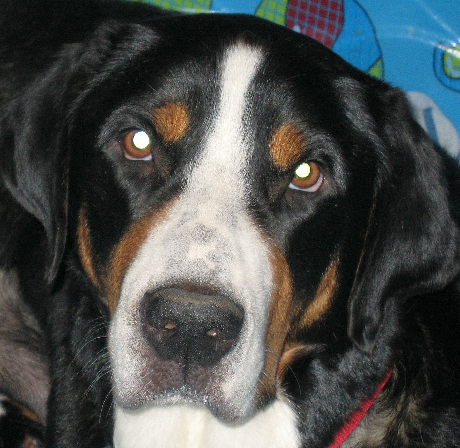 Greater Swiss Mountain Dog Breeders and Dogs For Slae in ...