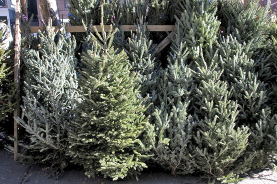 freshly cut pa christmas trees - Christmas Tree Market