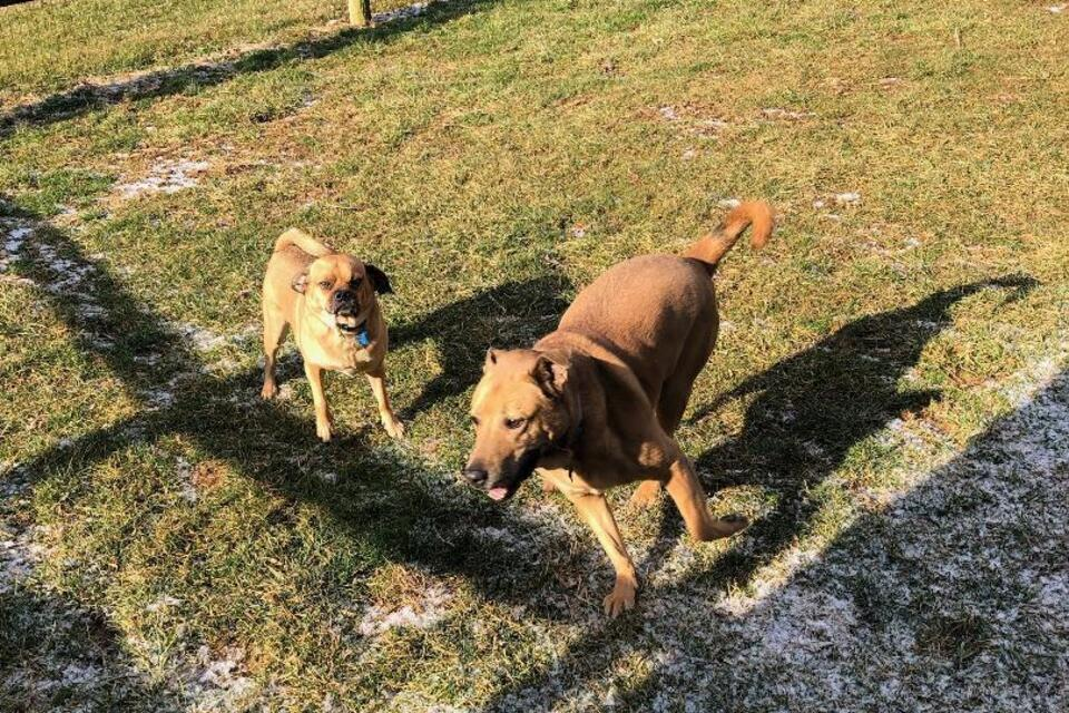2 dogs playing
