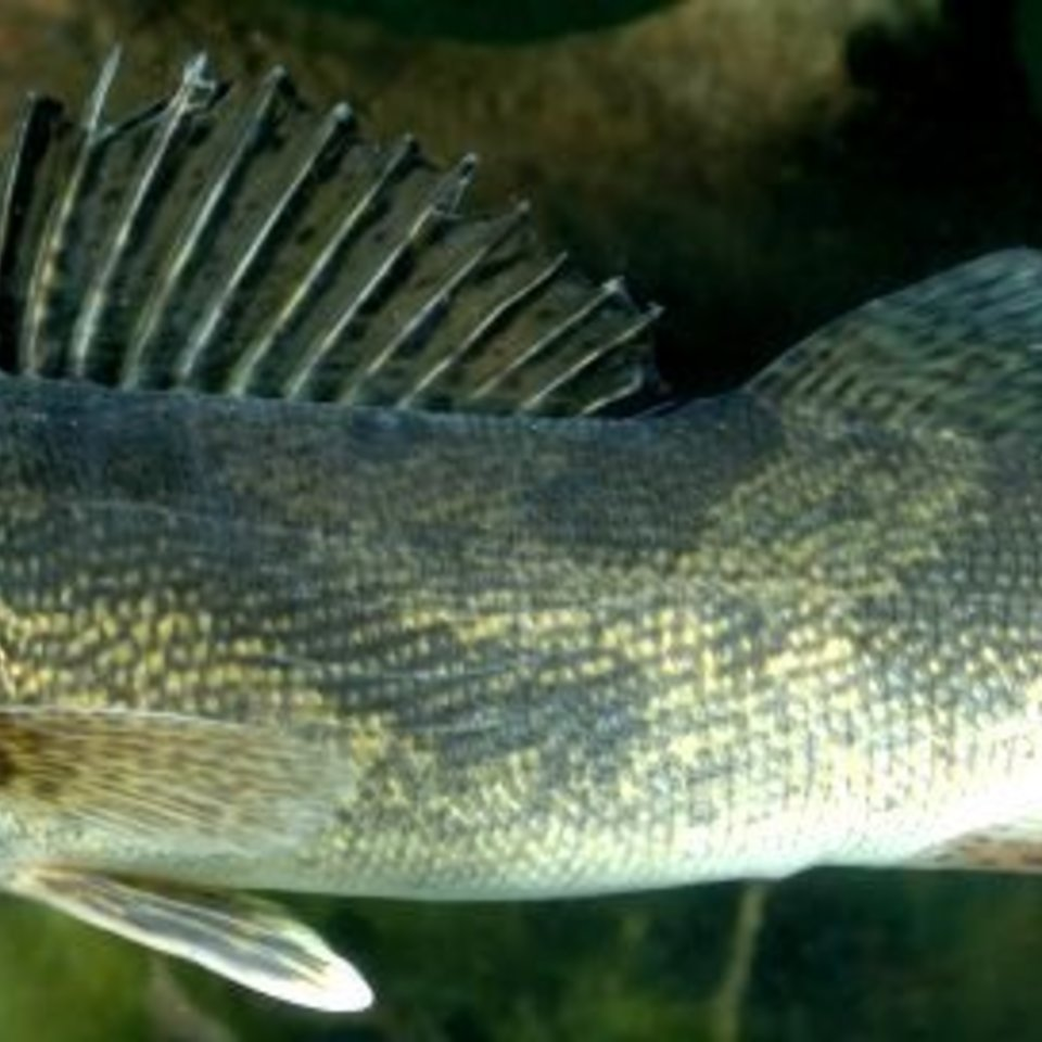 Walleye photo 760