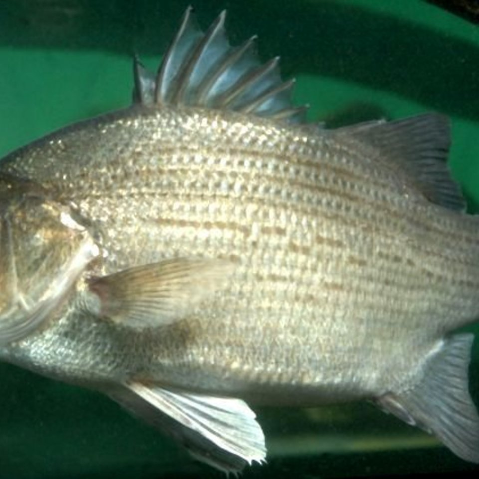 White bass photo 760