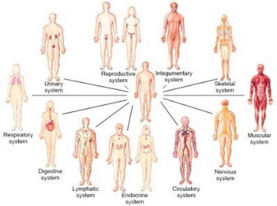 Body systems pic