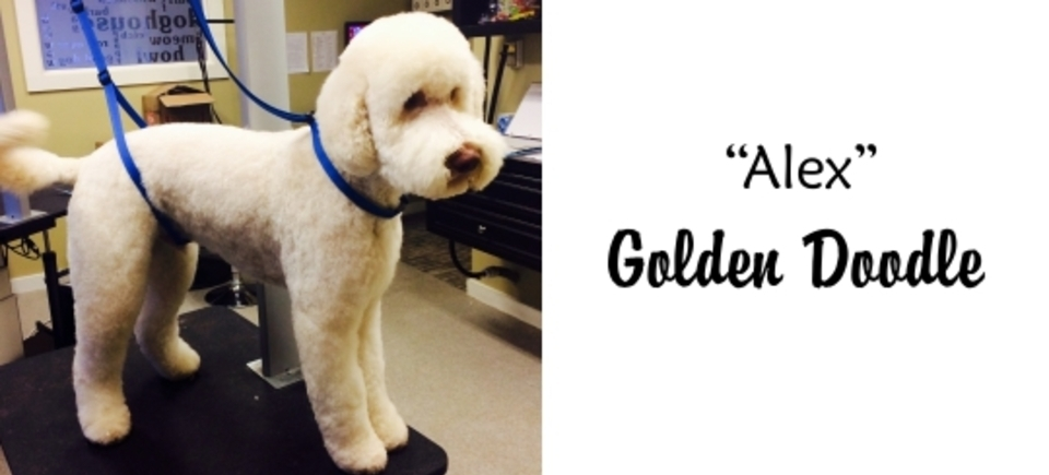 Faces   alex golden doodle20150623 16889 13a8bai 960x435