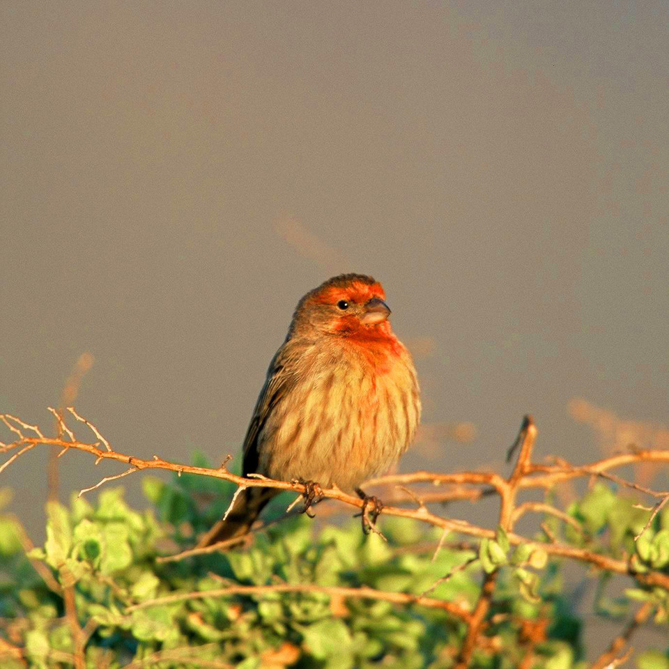 House finch20121203 1865 4hdjef 0