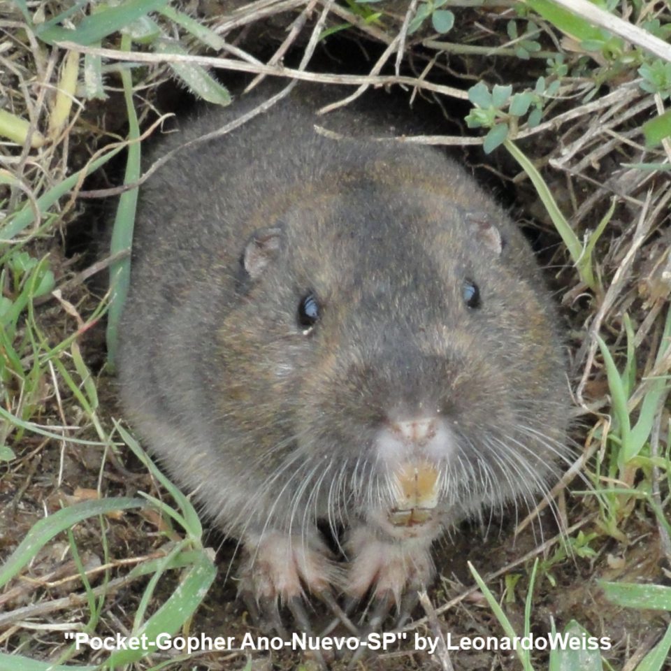 Pocket gopher20150803 17665 4nzgl7 960x960