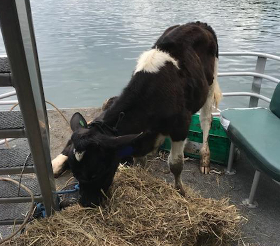 Calf on pontoon20180531 15765 zkn0cr