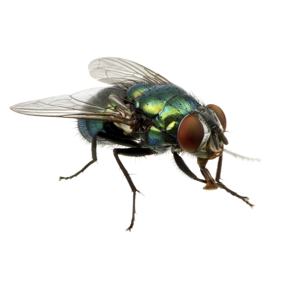 Flies gallery images2